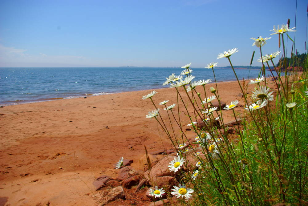 Daisies on the Beach